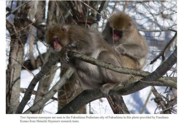 Fukushima monkeys & radiation